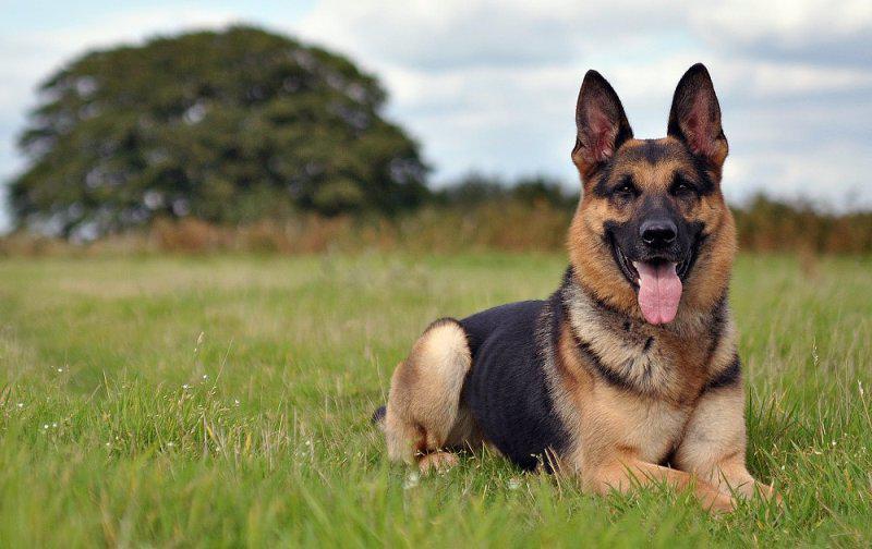 Характеристика немецкой овчарки: внешний вид с фото, характер собаки, особенности ухода и разведения щенков этой породы