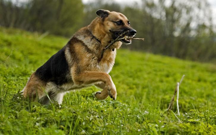 Как правильно дрессировать щенка немецкой овчарки в домашних условиях: основы обучения командам