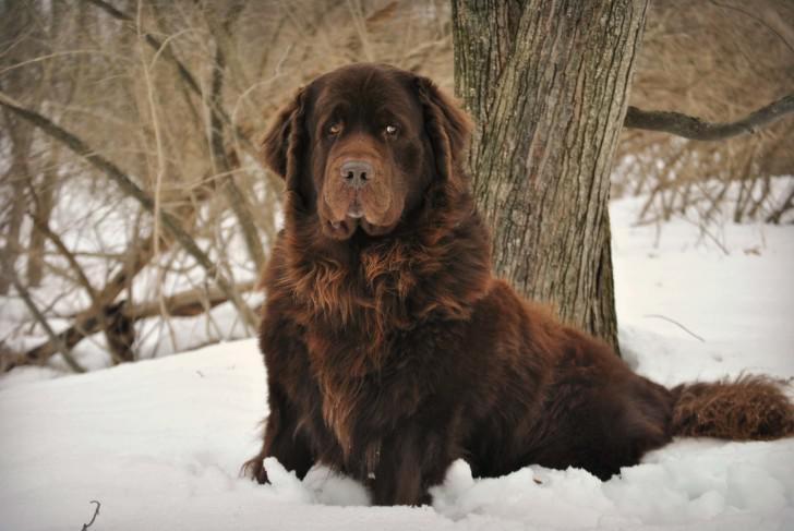 Порода ньюфаундленд: характеристика взрослой собаки водолаза и щенков