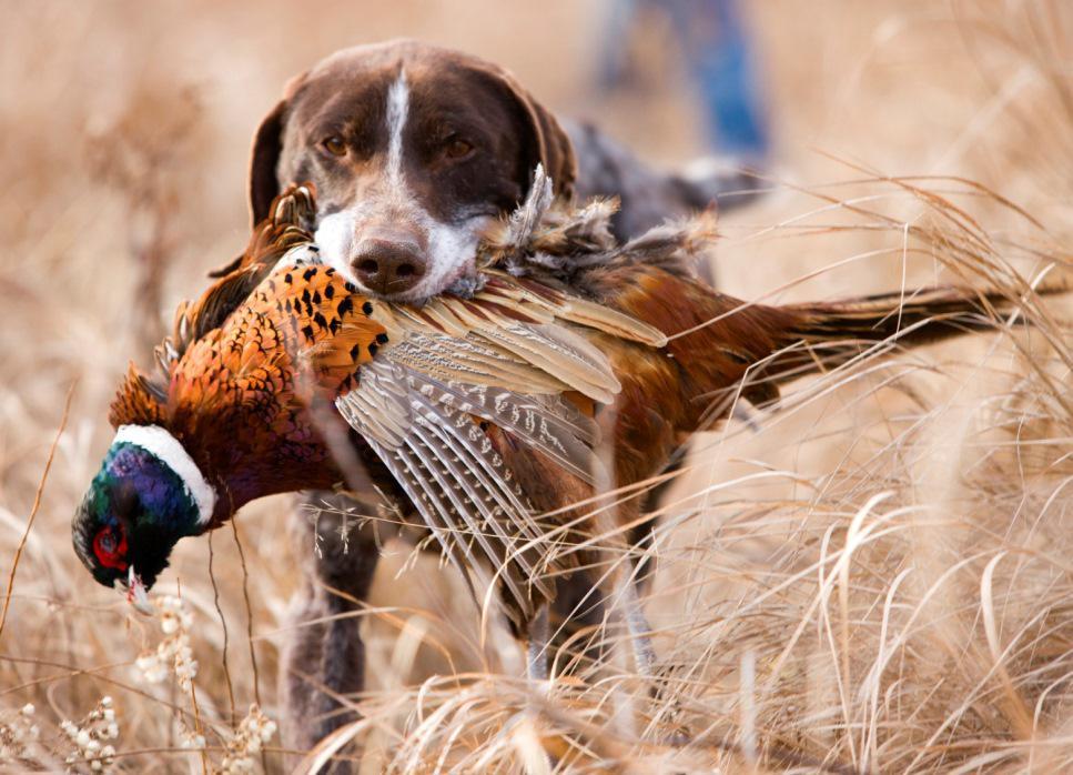 Описание охотничьих пород собак: самые популярные их виды с фотографиями