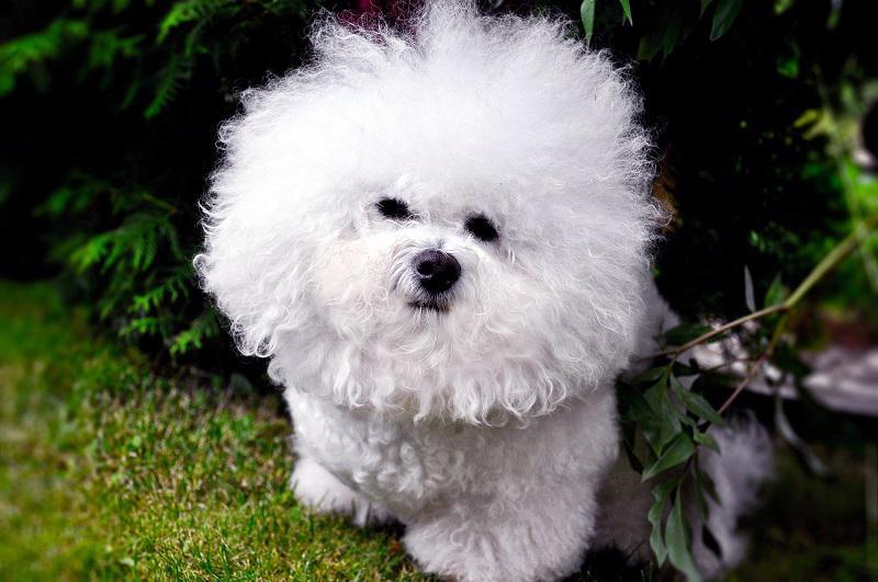 Фото бишонов фризе, происхождение, предназначение и описание породы собак