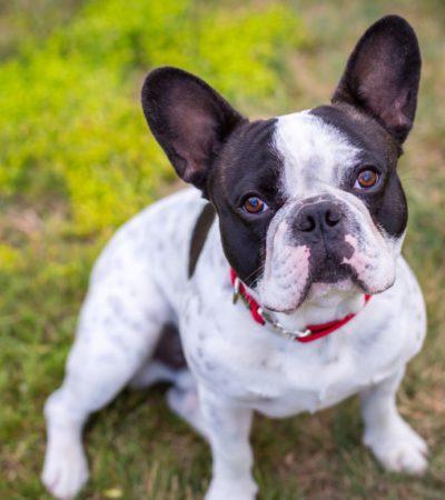 Содержание французского бульдога и уход за ним: чем кормить питомца в домашних условиях и как ухаживать за собакой?