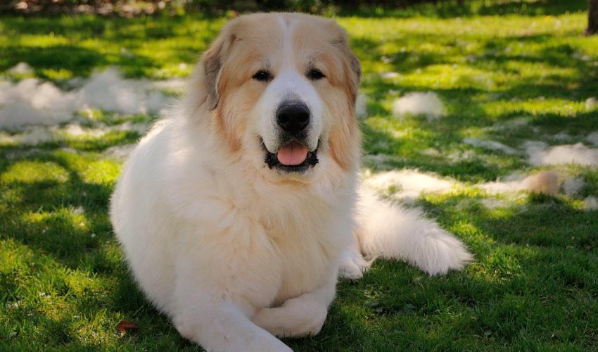 Фото пиренейской горной собаки, происхождение овчарки, предназначение и описание породы