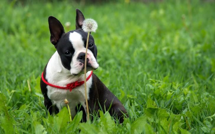 Как увеличить продолжительность жизни собаки породы французский бульдог?