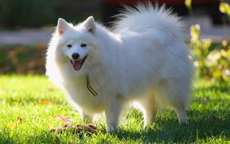 Содержание американского эскимосского шпица, стандарт породы, внешний вид собаки с фото
