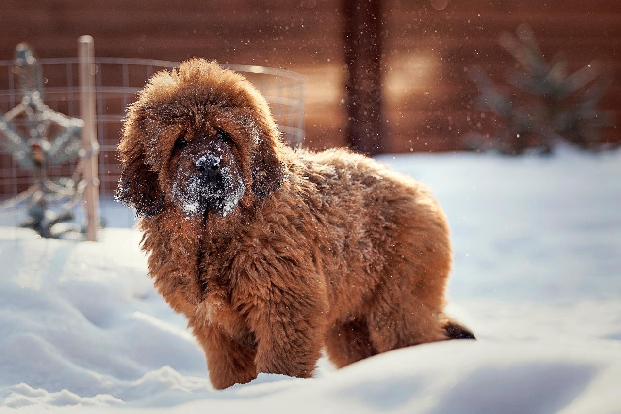 Фото тибетского дога или мастифа, происхождение и другие разновидности, характеристика породы собак