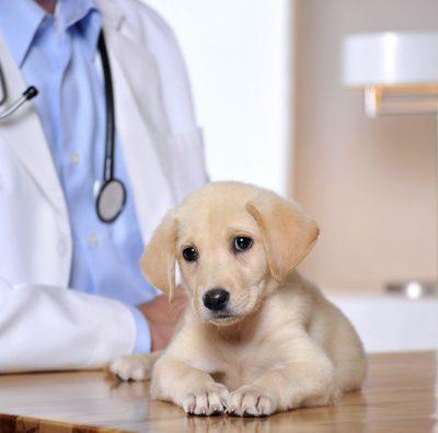Зачем нужно глистогонить собаку перед вакцинацией, за сколько дней до прививки надо давать ей глистогонный препарат?