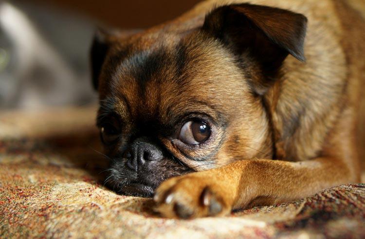 Описание породы пти-брабансон: внешний вид собаки с фото, характер и особенности ухода за гриффоном