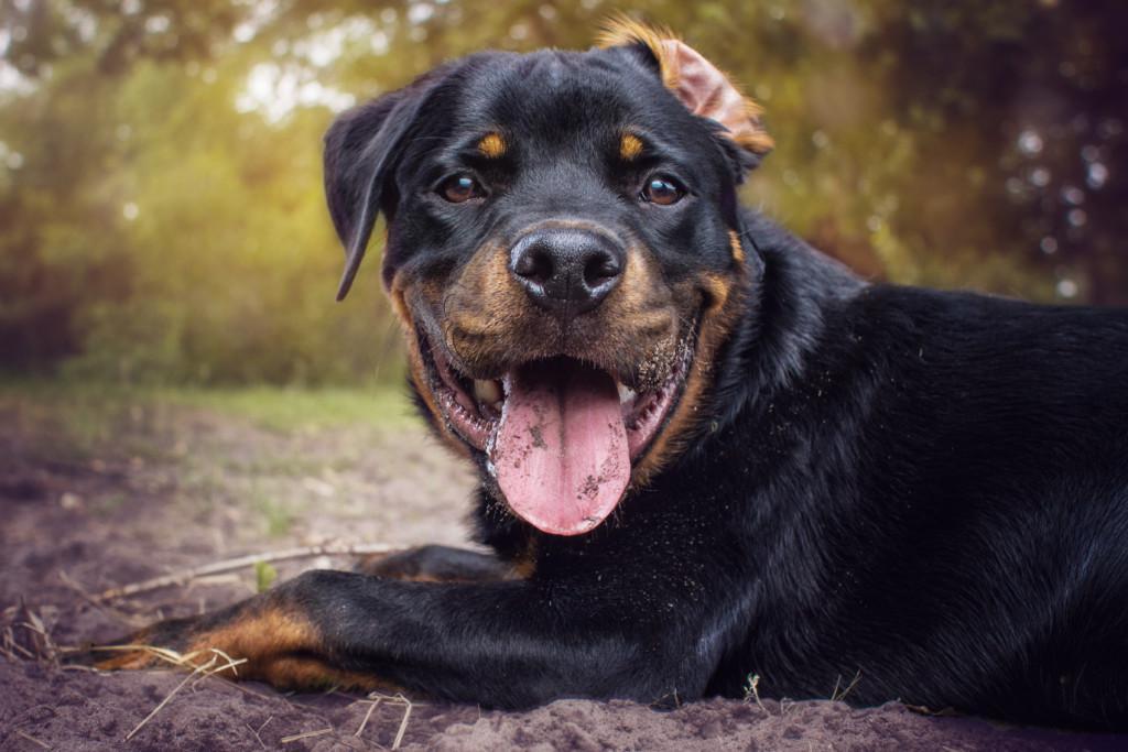 смотреть картинки собаки ротвейлер три года