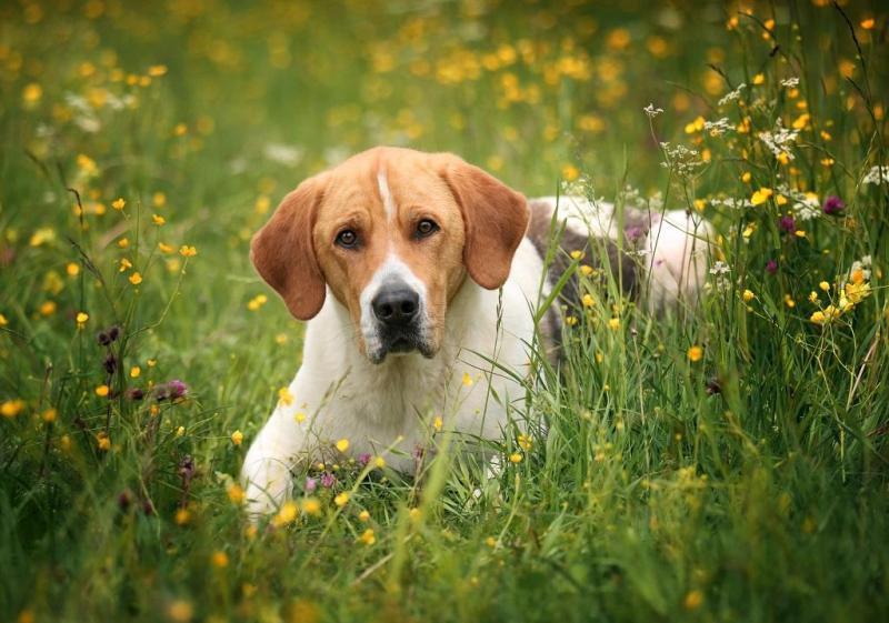 Описание русской пегой гончей с фото: внешний вид и характер собаки, советы по выбору щенка
