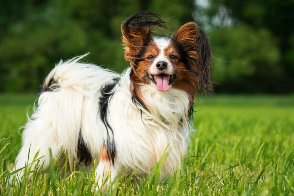 Виды континентального той-спаниеля, фото и описание папильона и фалена, плюсы и минусы породы собак