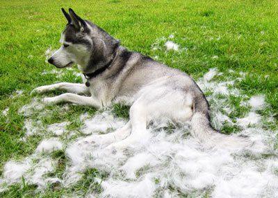 Почему собаки очень сильно линяют и что с этим делать, когда должна быть линька – летом или осенью, и сколько раз в год?
