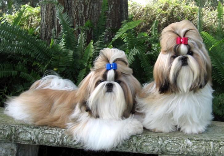 Ши-тцу — «собака, у которой выпадают глаза»: характеристика породы, уход за шерстью