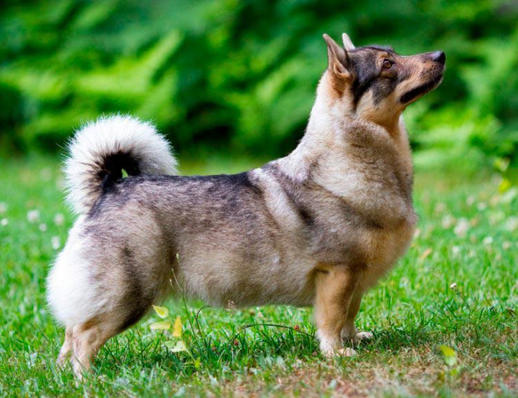 Все о шведском вальхунде: стандарт породы, внешний вид собаки с фото, уход за вестготским шпицем