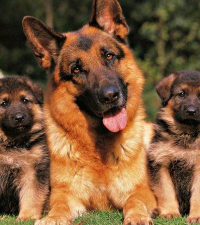 Содержание немецкой овчарки, уход за щенком в возрасте 1 – 2 месяцев и старше и взрослой собакой, правила кормления