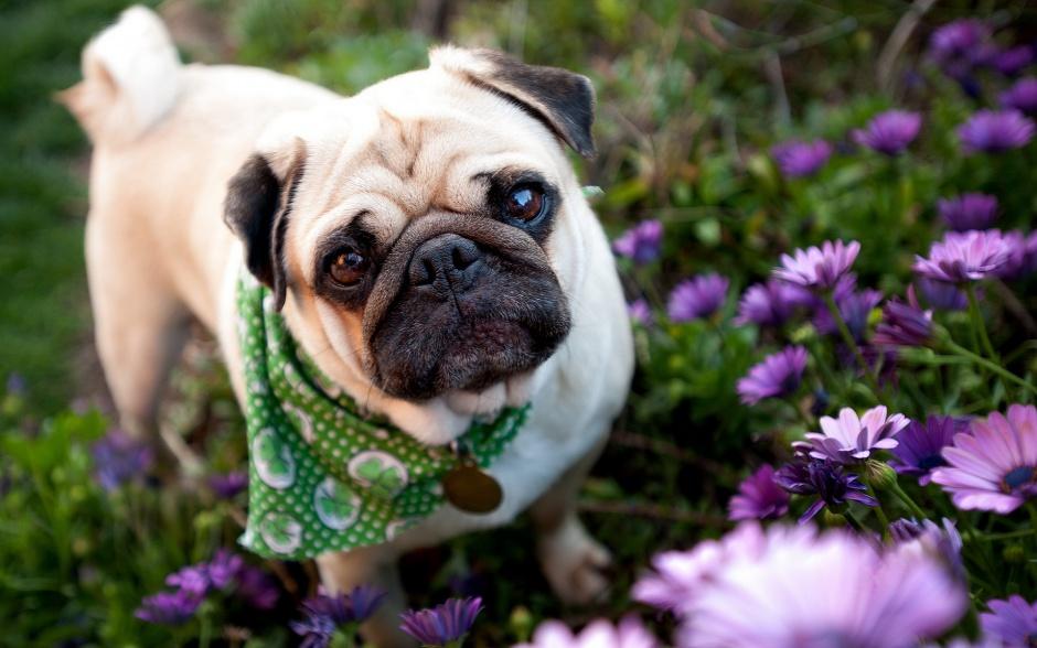 Описание с фото и характеристика породы «мопс», уход за собакой и содержание маленьких питомцев
