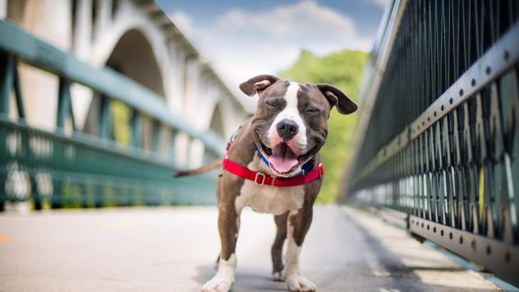 Собака стаффорд: фото, окрасы, описание и уход за американским стаффордширским терьером