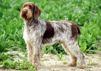 Описание итальянского спиноне: экстерьер и фото собаки, характер питомца, особенности содержания