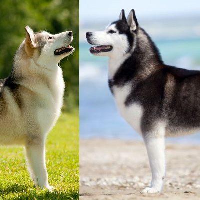 Чем лайка отличается от хаски: главные отличия между двумя ездовыми породами