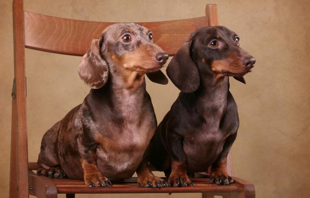 Такса: описание характера и внешнего вида собаки по стандарту породы с фото, особенности ухода и содержания