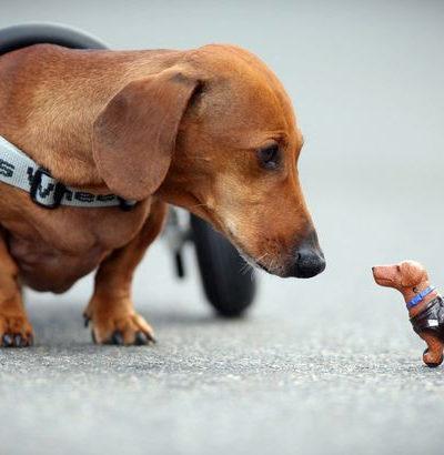 Как лечить собаку, у которой отказали или подкашиваются задние лапы, в чем причина паралича и что делать?