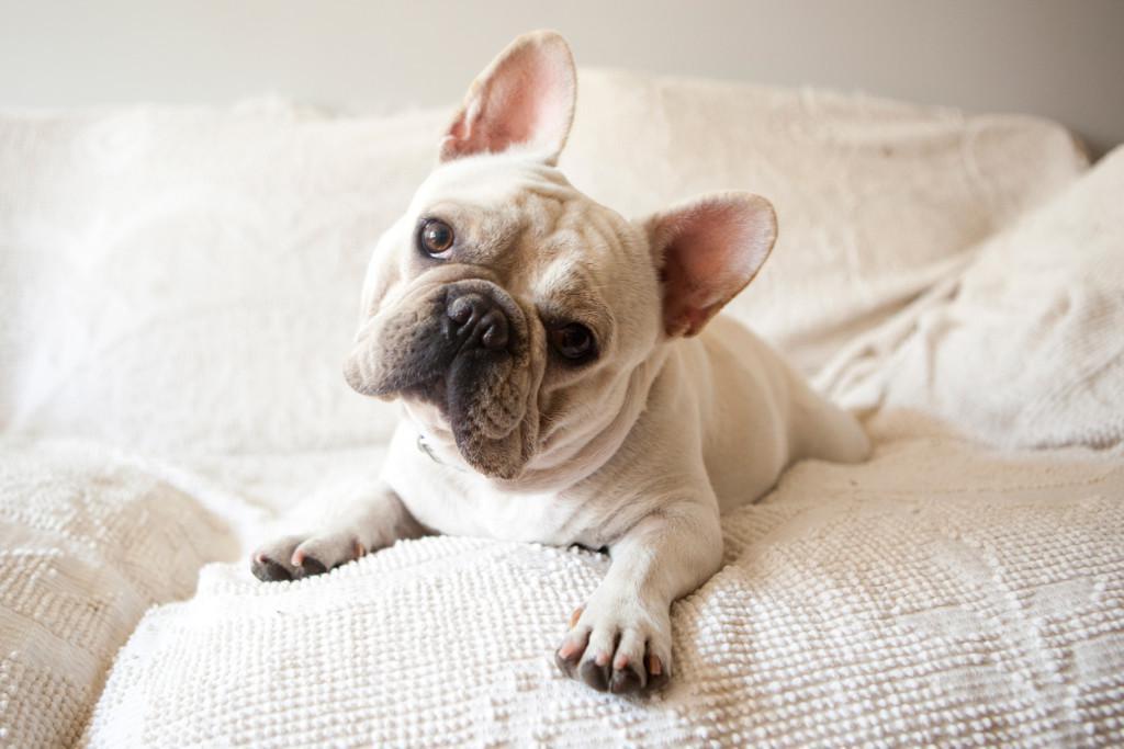 Описание и характер французского бульдога, характеристика породы и фото собаки, плюсы и минусы