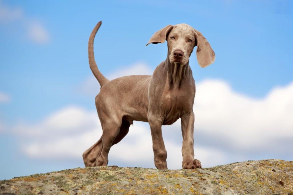 Описание породы веймаранер с фото: внешний вид, характер, особенности дрессировки собаки