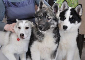 Рыжий, белый, черный и другие допустимые варианты окраса хаски с фото собак