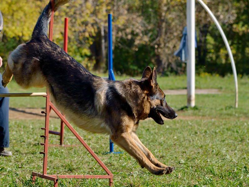 Дрессировка немецкой овчарки: обучение командам, тренировка и поощрение (фото и видео) 4