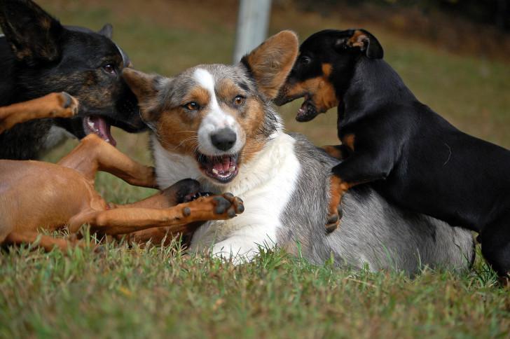 Корги играет с собаками