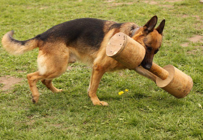 Дрессировка немецкой овчарки: обучение командам, тренировка и поощрение (фото и видео) 9