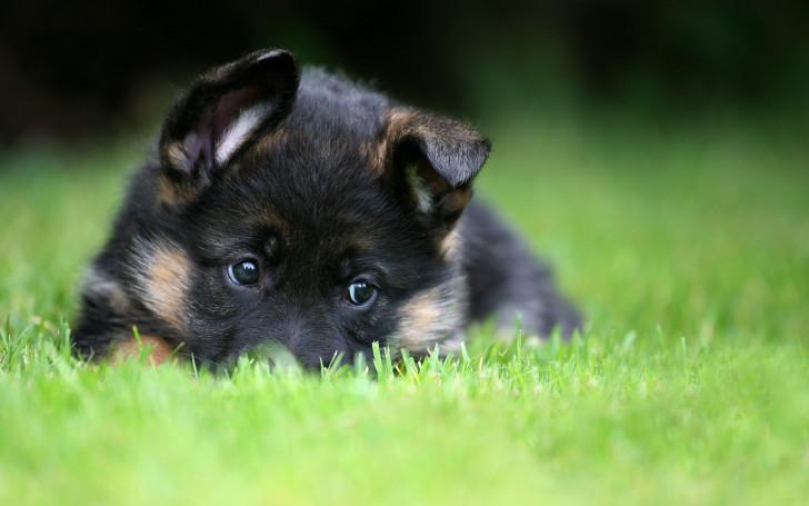 Как правильно выбирать щенка немецкой овчарки: определение породы, отличия от дворняги